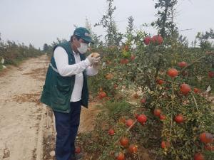 Control de mosca de la fruta contribuyó en la producción y abastecimiento de frutos sanos