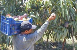 Controlar la mosca de la fruta con productos biológicos es clave para no poner en peligro la exportación de mango
