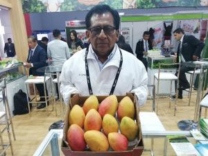 Coopafape exportará entre 40 y 45 contenedores de mango Kent en la campaña 2019/2020