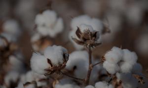 Cooperativa de Catacaos embarca algodón Pima a Europa