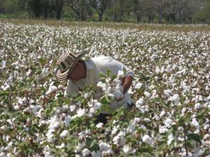 Costach lanzará línea de algodón pima peruano sostenible para la cadena de textiles y confecciones
