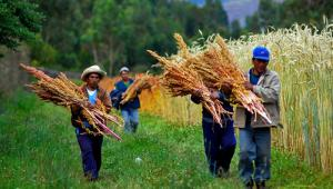 Crearán escuelas de campo para impulsar producción de quinua en Ayacucho