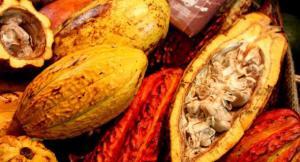 Crecen envíos de cacao peruano a Japón y China