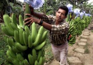 Cultivo de banano tiene baja productividad en Piura