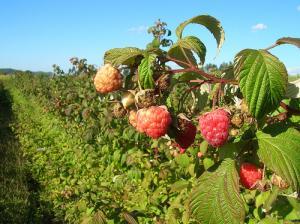 Cultivo de frambuesa es negocio rentable para pequeños productores