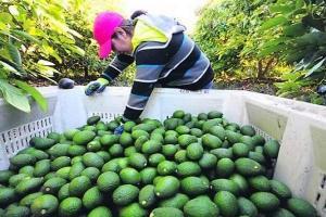 Demanda internacional de palta peruana se dispara en el primer trimestre de 2020