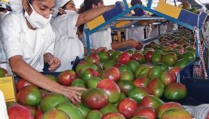 Despachos de mango alcanzan las 29.497 toneladas desde inicio de la campaña 2020/2021 a la semana 51