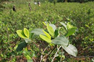 Devida reporta en Perú 61.777 hectáreas de cultivos de coca en producción al 2020