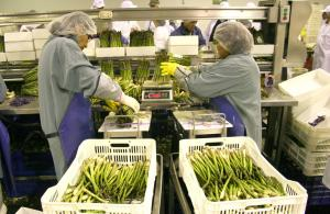 Disminuye ritmo de exportación de espárragos frescos durante primeros cuatro meses del año