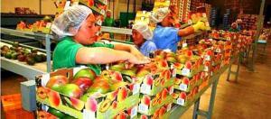 Dos tercios del volúmen de mango fresco que exportará Perú en la campaña 2019/2020 se dirigirá a Europa