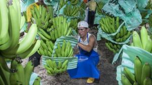 Ecuador: exportación de bananos aumentó un 4% en el primer semestre de 2019