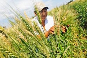 """EEA Baños del Inca lanza nueva variedad de trigo """"Inia 434 Espiga Misha"""""""