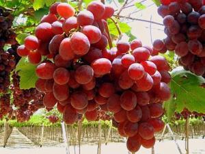 EE.UU.: Termina una buena temporada de importación de uvas peruanas