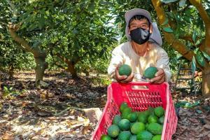 El 88% de los predios de palta en el país son de pequeños productores