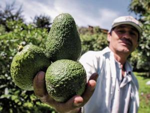 El aguacate Hass convierte a Colombia en un escenario de inversión internacional