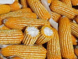 El maíz es el cultivo más importante en extensión para el Perú