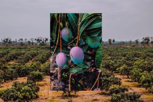 El Programa de Sustentabilidad de la industria del Mango: Un mayor valor añadido para productores y empacadores