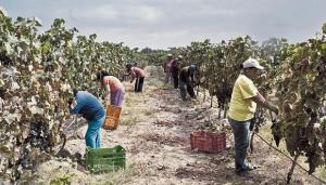 Empleadores del sector agroexportador tendrán menos gastos laborales