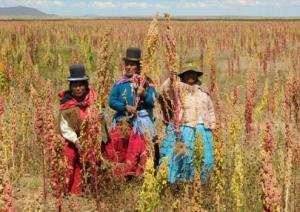 EN BOLIVIA SIENTEN AMENAZA ANTE PRODUCCIÓN DE QUINUA EN PERÚ