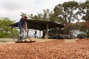 En el mediano plazo, Pangoa producirá cacao nativo de alta calidad gracias al mejoramiento genético