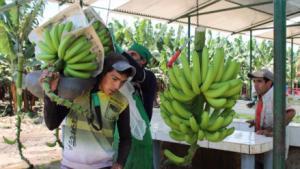 En Lambayeque: cerca del 60% del banano se pierde porque no se puede sacar del campo