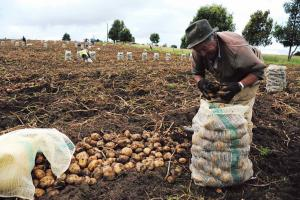 En nueve regiones disminuirán las siembras en la presente campaña