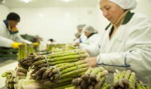 Enero: exportación de espárragos frescos llegó a valores de US$ 44 millones