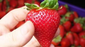 Enero: exportación de fresas sumó un valor de US$ 2.6 millones