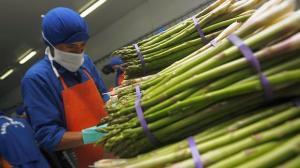 Espárrago en Perú es el único cultivo que no tiene certificaciones para exportar, eso le quita competitividad frente a otros países