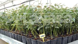 Establecen requisitos fitosanitarios para la importación de plantas de arándano provenientes de Planasa Viveros de España