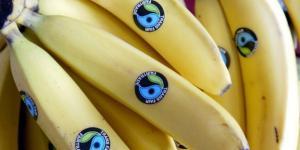 Estaciones agrometeorológicas monitorearán banano orgánico en Piura