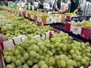 Estados Unidos y China se convierten en los principales destinos de la uva de mesa chilena