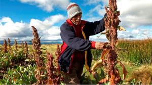 Este año se realizaría el primer envío de quinua peruana a China