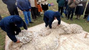 Existe oportunidad para jóvenes en zonas altoandinas para la crianza y cadenas tecnológicas en producción de fibra de alpacas