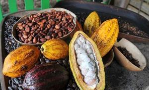 Existen 12.830 toneladas de cacao en grano almacenado