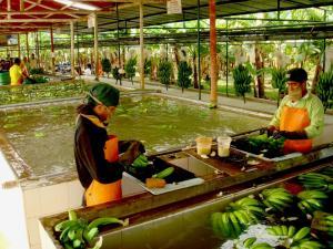 Exportación de bananos orgánicos crecería hasta los   US$ 160 millones en 2018