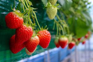 Exportación de fresas en 2018 cerró en ascenso y alcanzó valores de US$ 16.7 millones