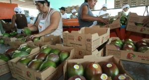 Exportación de mango fresco: un nuevo (y retador) récord para el Perú