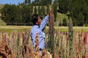 Exportación de quinua a China impulsaría producción en Perú hasta en 40%