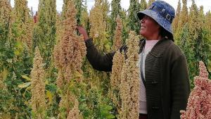 Exportación de quinua de Perú se multiplicó 10 veces en la última década
