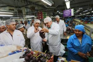 Exportación de uva de mesa alcanzaría las 340 mil toneladas en campaña 2018-2019