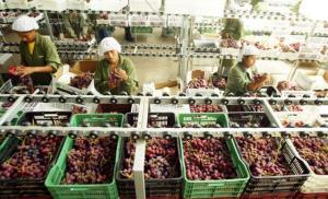 Exportación de uva de mesa en la actual campaña se acercará a los US$ 1.000 millones