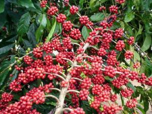 Exportación peruana de café caería 11.4% este año