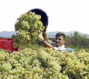 Exportación peruana de uva crecería 26% en la campaña 2017/2018