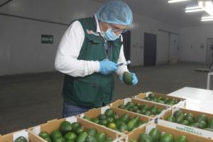 Exportaciones arequipeñas de palta ascendieron a 7.700 toneladas en 2021