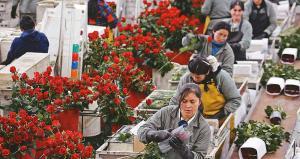 Exportaciones de flores frescas crecieron 13.2% en valor y volúmen en 2019