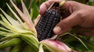Exportaciones de maíz morado llegan a valores de US$ 802 mil