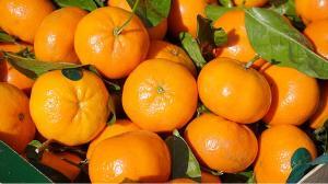 Exportaciones de mandarinas tempranas crecen 39% en volumen y 51% en valor