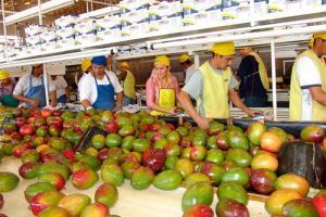 Exportaciones de mango fresco crecen en volúmen 35% hasta la semana 8