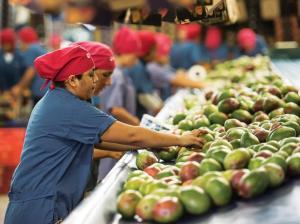 Exportaciones de mango fresco crecen en volumen 61% hasta la semana 51